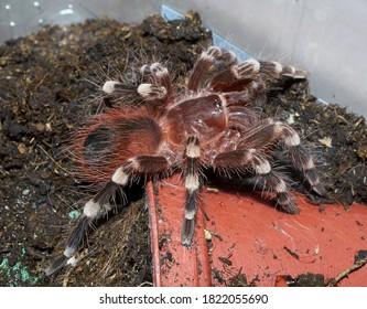 Portrait of tarantula spider Acanthoscurria geniculata macro