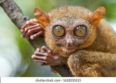Portrait of Tarsier monkey (Tarsius Syrichta) on the tree in natural jungle environment, Philippines. Bohol island.