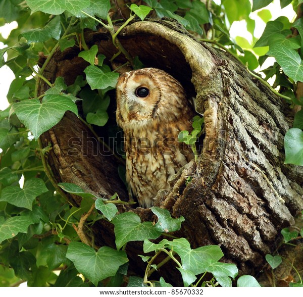 Portrait of a Tawny Owl in a hollow tree stump