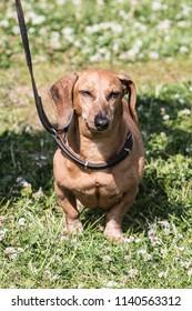 Portrait of a teckel dog living in Belgium