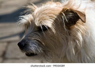 portrait of terrier