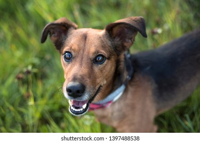Portrait of a Terrier Dachshund Mix outdoors