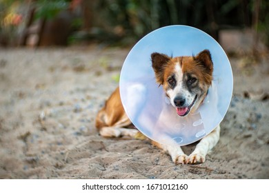 Portrait of Thai dog with elizabethan collar, close up Thai dog