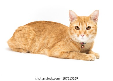 portrait thai yellow cat brown eyed looking at the camera.  isolated on white background