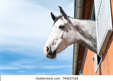 Portrait of thoroughbred gray horse looking out of stable window on a blue sky background. Multicolored summertime outdoors filtered image.