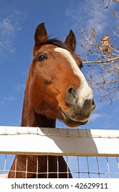 Portrait of Thoroughbred Horse Looking Over White Fence.