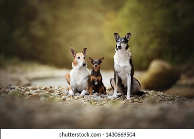 Portrait of three beautiful dog friends. Dog friendship. Impressive dog portrait. Smooth collie and Pinscher.