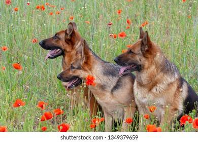 portrait of three beautiful German shepherds