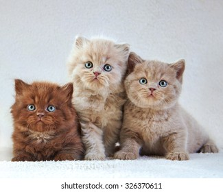 Portrait of Three British kittens