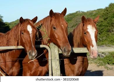 Portrait of three chestnut warmblood horses.