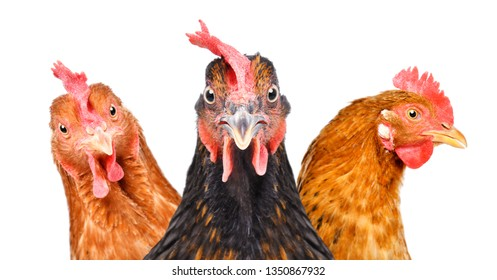 Portrait of  three chickens isolated on white background