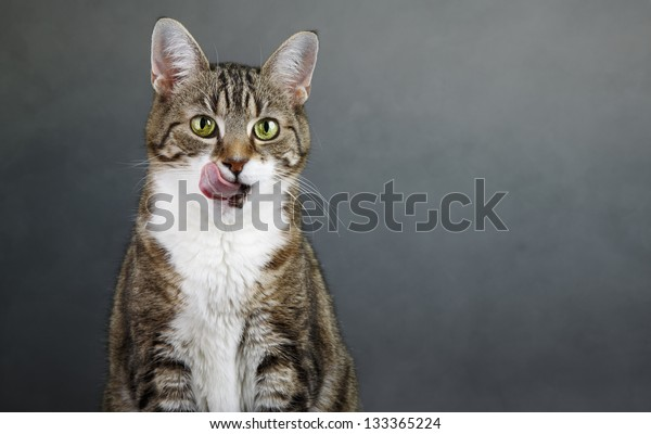 Portrait of a three colored housecat licking her mouth after eating