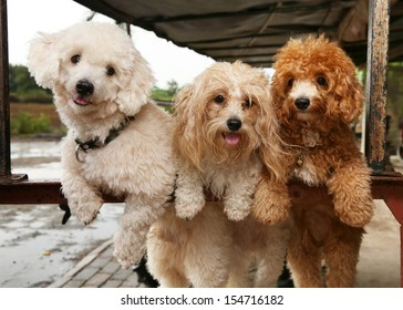 Portrait of three cute poodle dogs on nature background