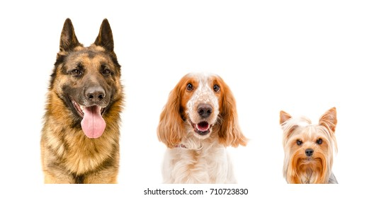 Portrait of three dogs, closeup, isolated on white background