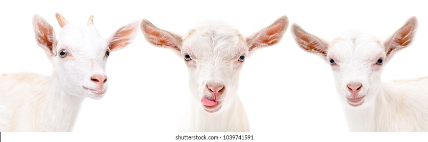 Portrait of a three funny white goat, isolated on white background