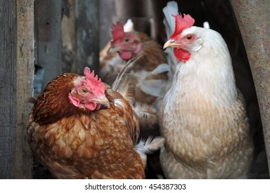 Portrait of three hens brown and white close-up. Selective focus.