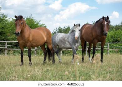 Portrait of three horses on pasture