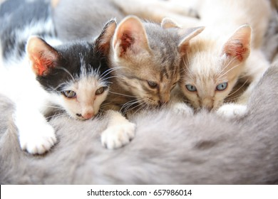 Portrait of three kittens with their mother. Family of domestic cats. Mother cat breastfeeding her children.