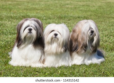 Portrait of three purebred Lhasa Apso  on green grass