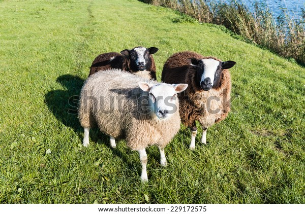 Portrait of three sheep with winter coat standing on the banks of river on a sunny day in the fall season.