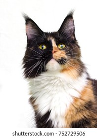 portrait of the three-color maine coon cat