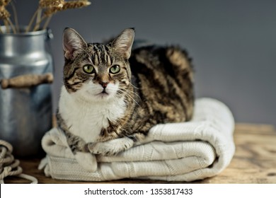 Portrait of a three-colored house cat relaxing on blanket