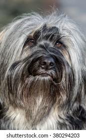 Portrait of a Tibetan Terrier