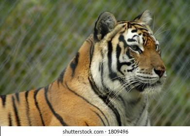 A portrait of a tiger.