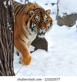 portrait Tiger in the forest in winter