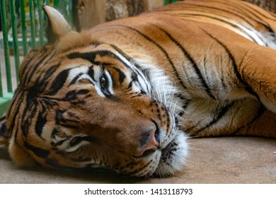 Portrait of the Tiger malayan, tigris panthera lying in the cage.