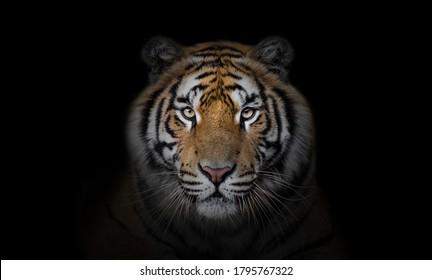 Tiger Wallpaper Hd Stock Images Shutterstock