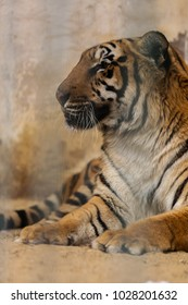 Portrait of tiger setting inside cage .Finely retouched and colored.