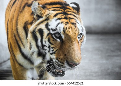 Portrait Of Tiger In the Zoo,Nanchang,China.