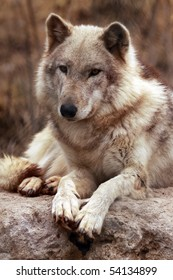 A portrait of a timber wolf (canis lupus).