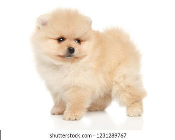 Portrait of a tiny Spitz puppy on a white background. Baby animal theme
