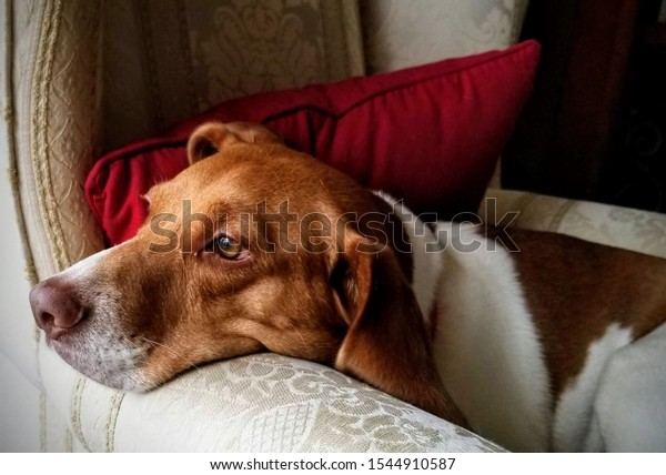 Portrait of tired beagle resting muzzle on arm of beige wing chair with red cushion, looking out window and waiting