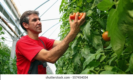 Portrait of Tomato Grower in Poly tunnel. Food production in commercial greenhouse. Portrait of a farmer with ripe, red tomatoes in his hand.