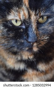 Portrait of a tortoiseshell cat