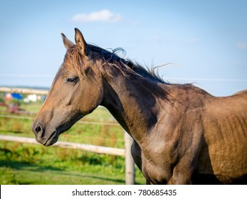 portrait of trakehner foal in the summer