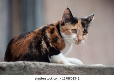 portrait of tricolor cat in outdoor looking away in the street