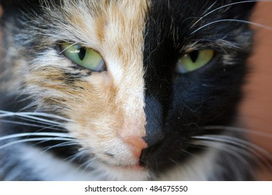 Portrait of a tricolored cat with heterochromia. Very interesting animal