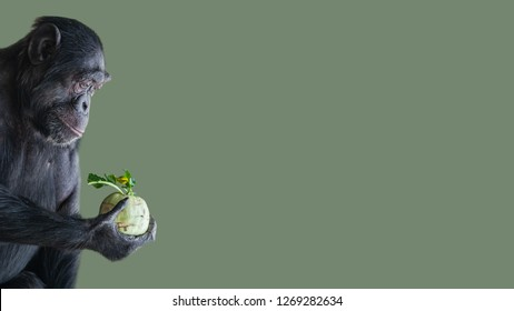 Portrait of troubled Chimpanzee in profile holding a cabbage isolated at smooth green background