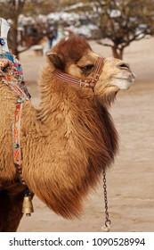 Portrait of turkish camel
