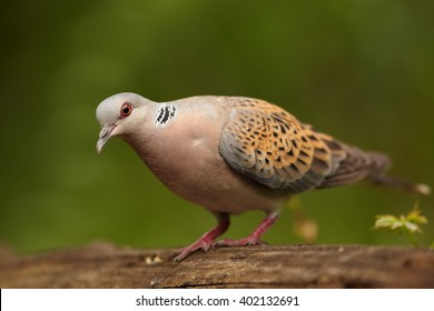 Portrait of Turtle Dove, Streptopelia turtur, looking directly at camera from very close distance in summer european forest. Wildlife photo, blurred green forest in background. Czech republic.