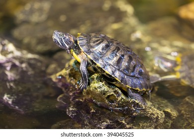 Portrait of a turtle on a rock in the water