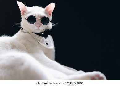 Portrait of Tuxedo White Cat wearing sunglasses and suit,animal  fashion concept.