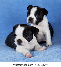 A portrait of two 7 week old female Boston terrier litter mates.
