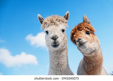 Portrait of two alpacas on the background of blue sky. South American camelid.