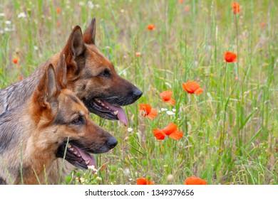 portrait of two beautiful German shepherds