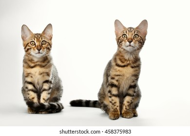 Portrait of Two Bengal Kitten Sitting on White Background, Front view, Curious Looking up